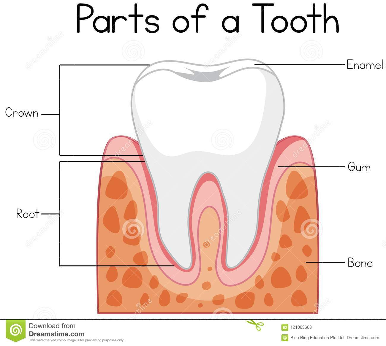 Parts Of A Tooth Diagram Stock Vector  Illustration Of Anatomy