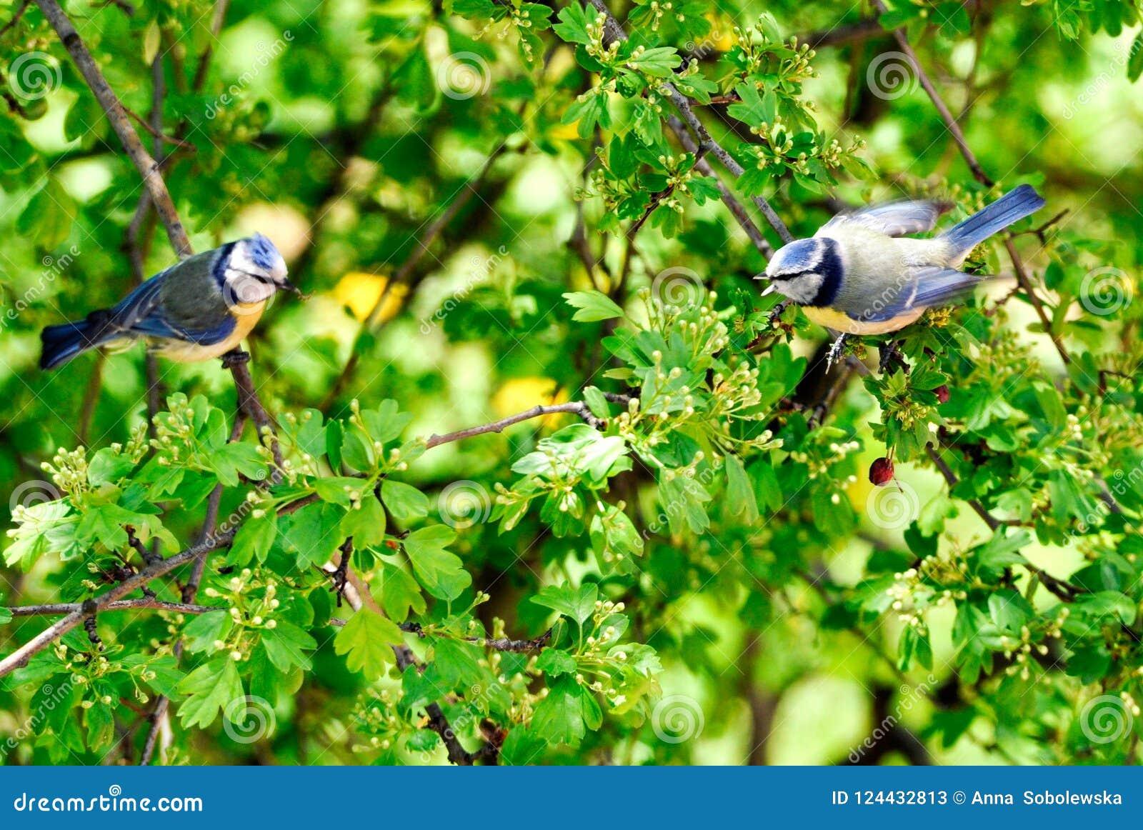 Parus ważny na drzewie opowiada z one