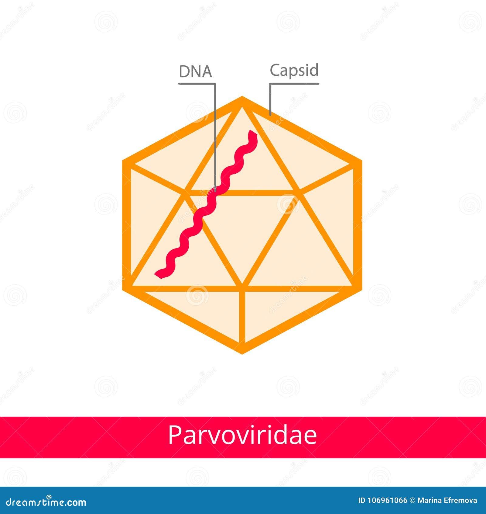 Parvoviridae Ταξινόμηση των ιών