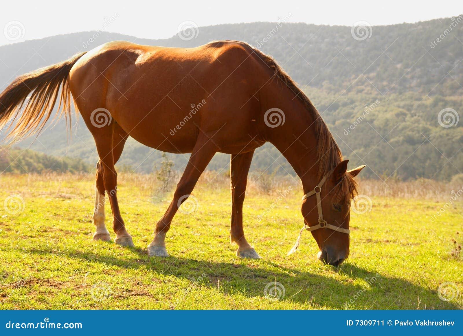 Pascolo del cavallo nel campo.