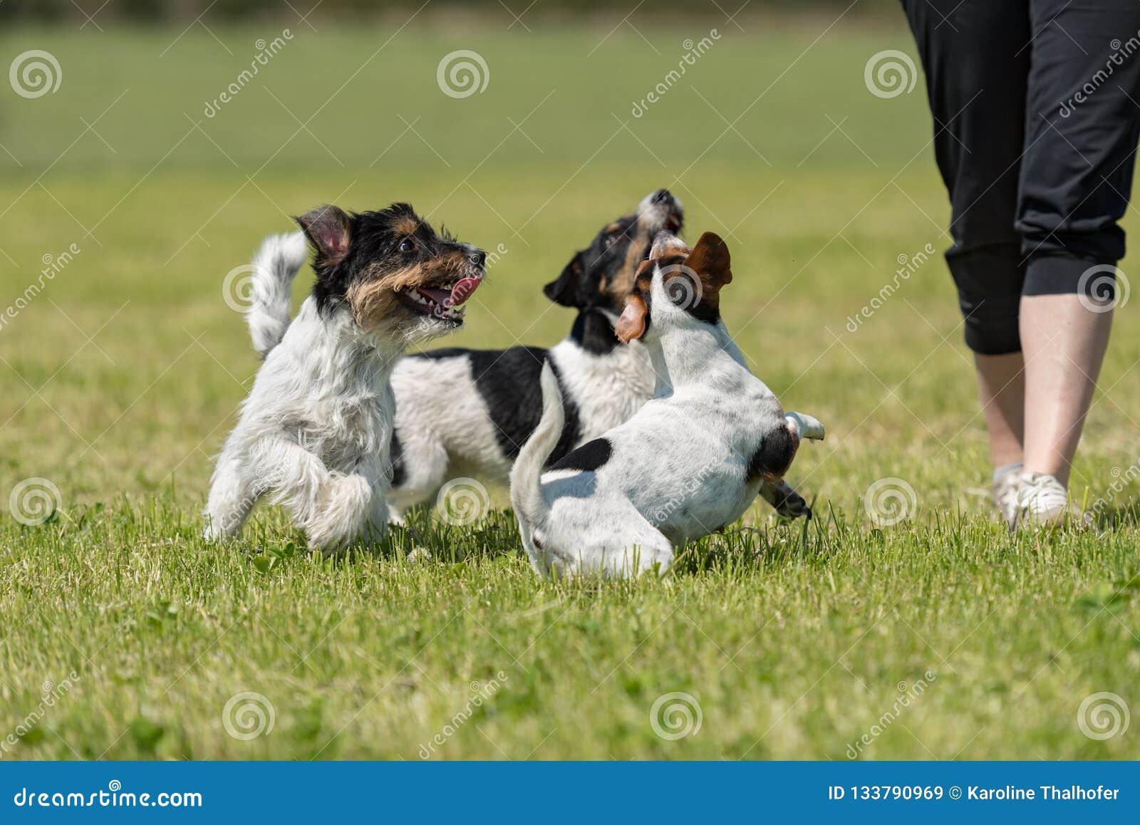 Paseo y juego del dueño con muchos perros en un prado