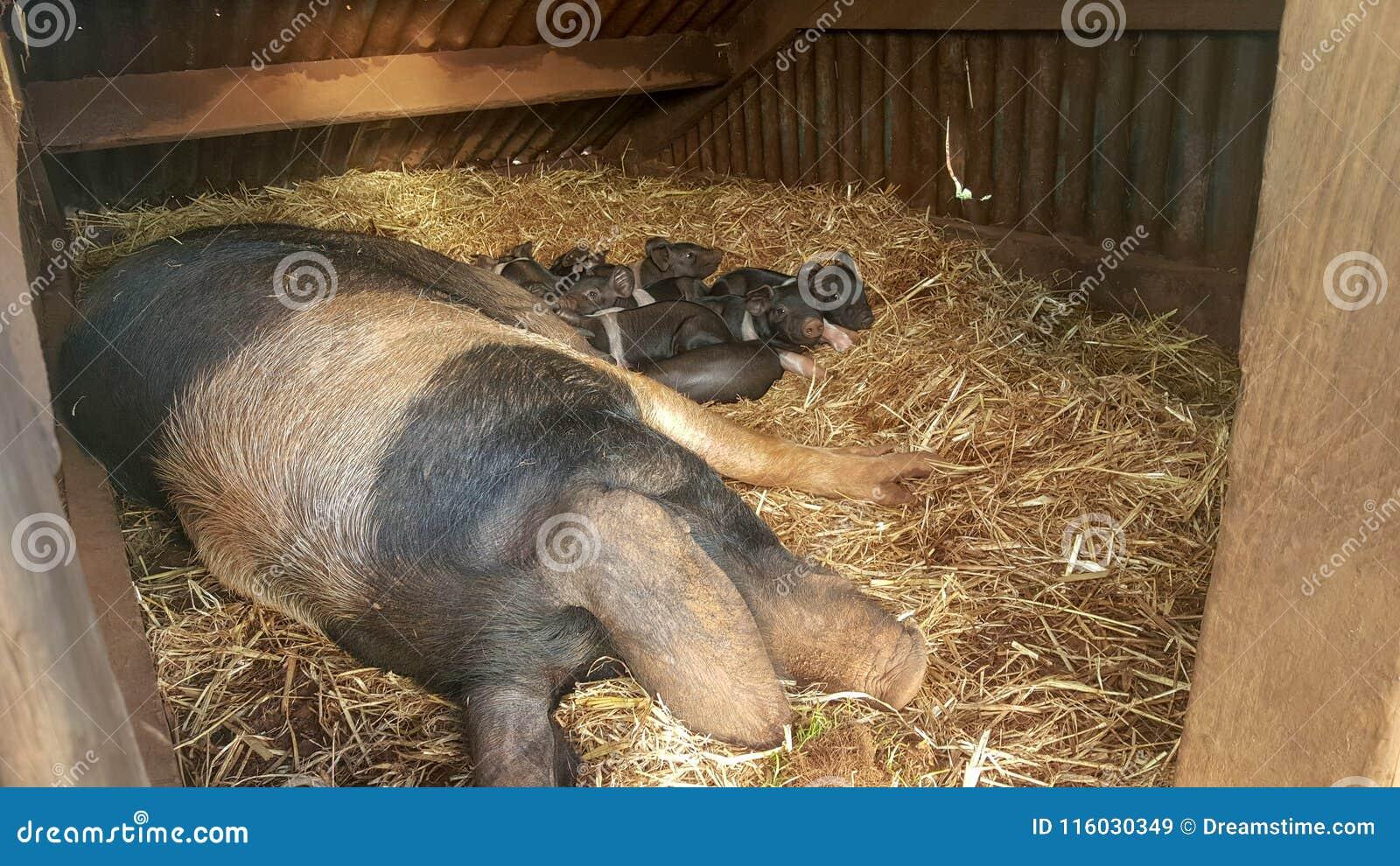Pasgeboren Britse zadeldakbiggetjes met hun mamma