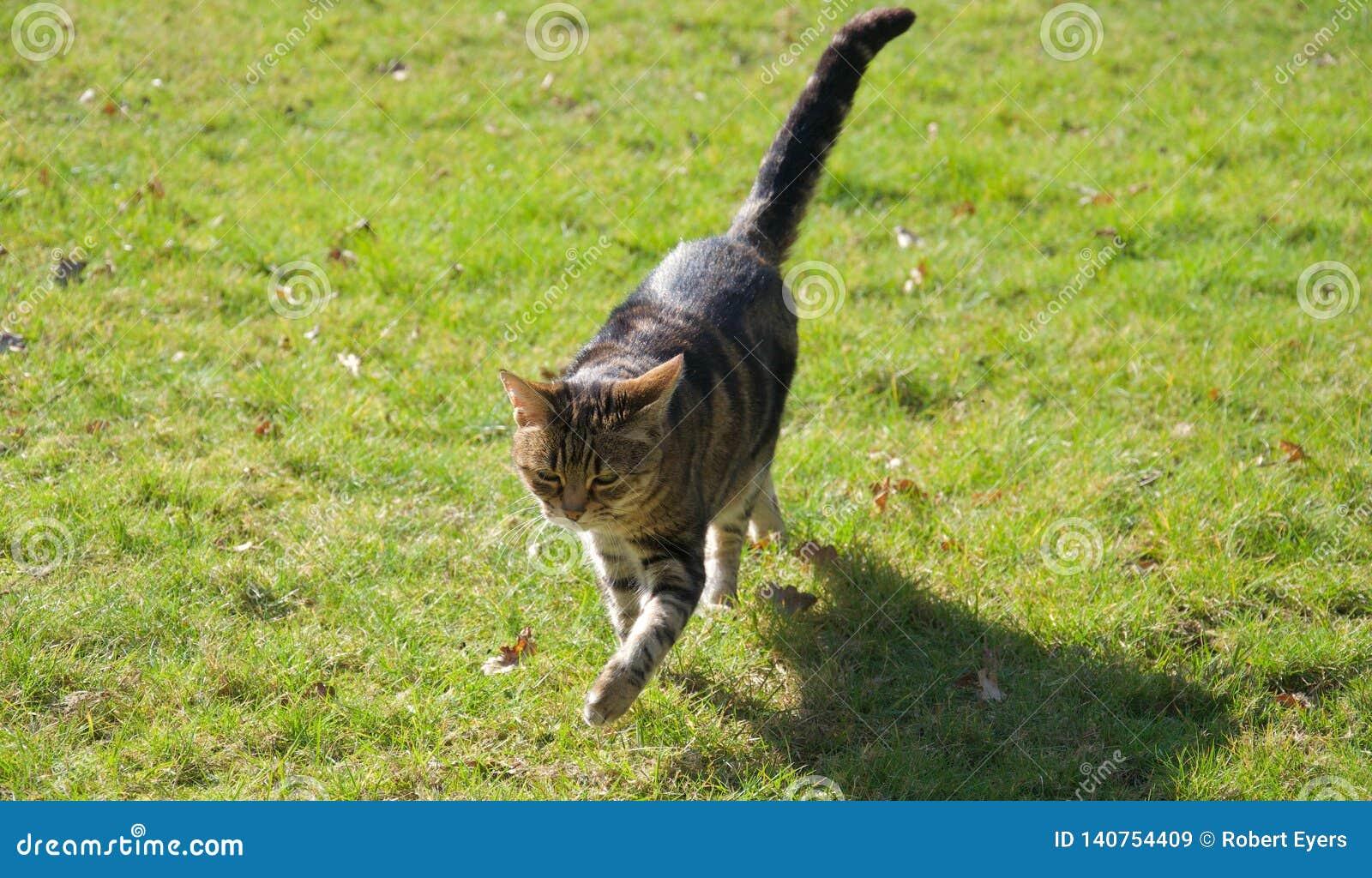 Pasiasty brązu, imbirowego i czarnego kota odprowadzenie przez trawa gazon w jaskrawym świetle słonecznym,