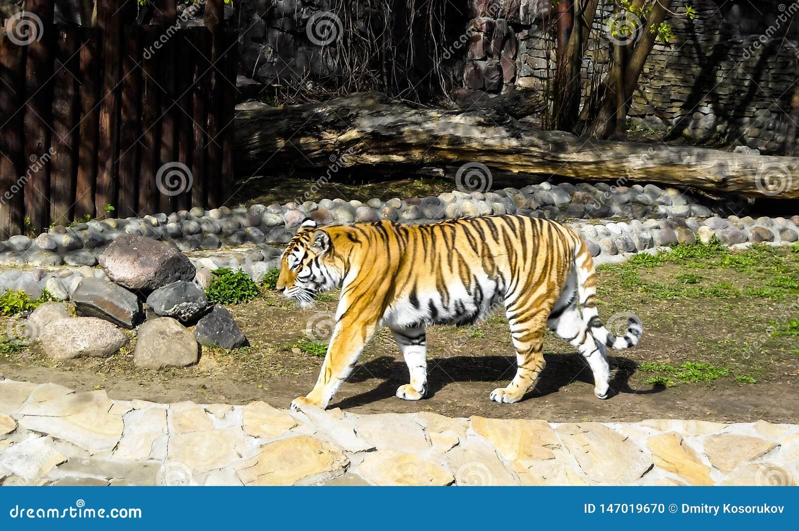 Pasiasty tygrys przy zoo