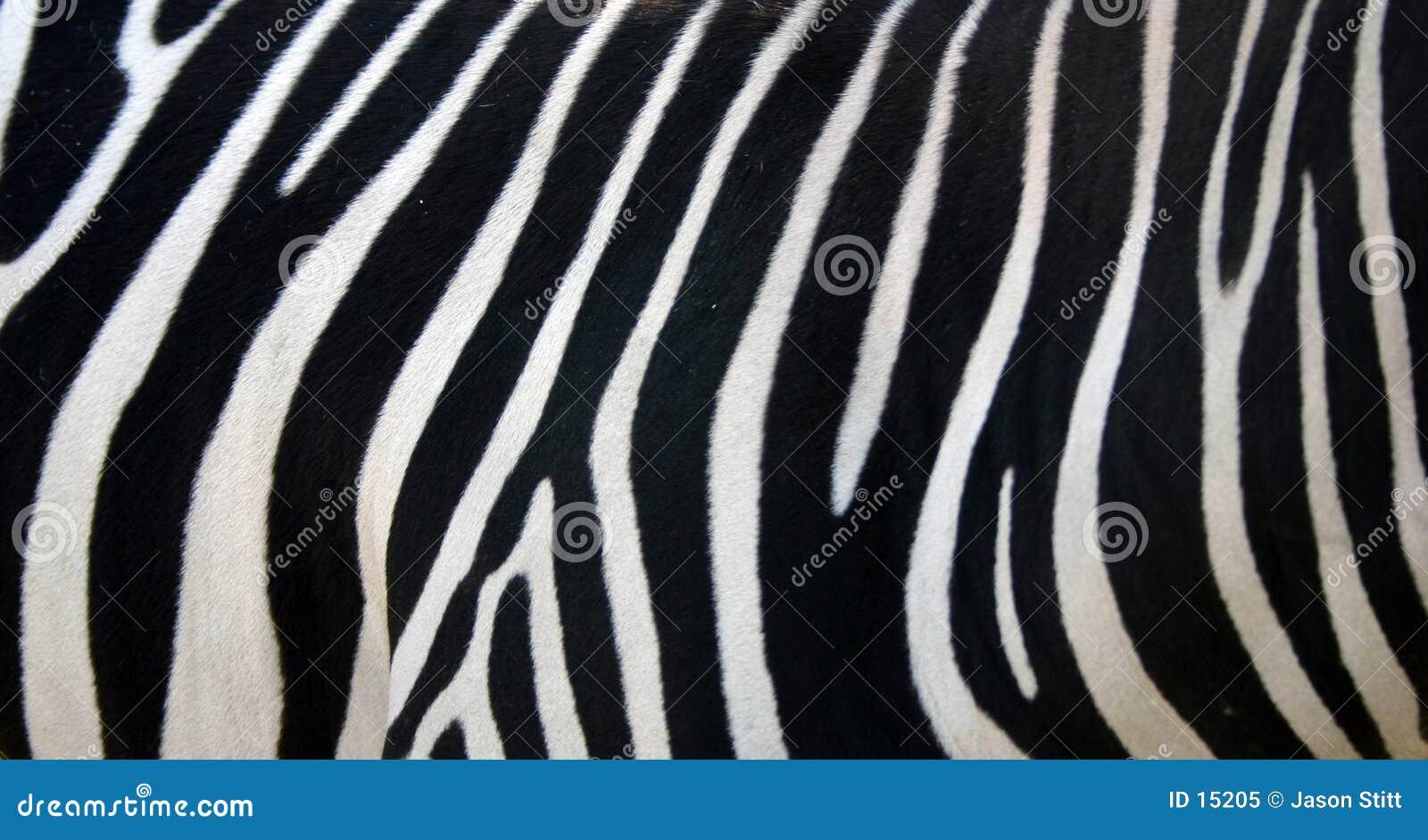 Paskuje zebry
