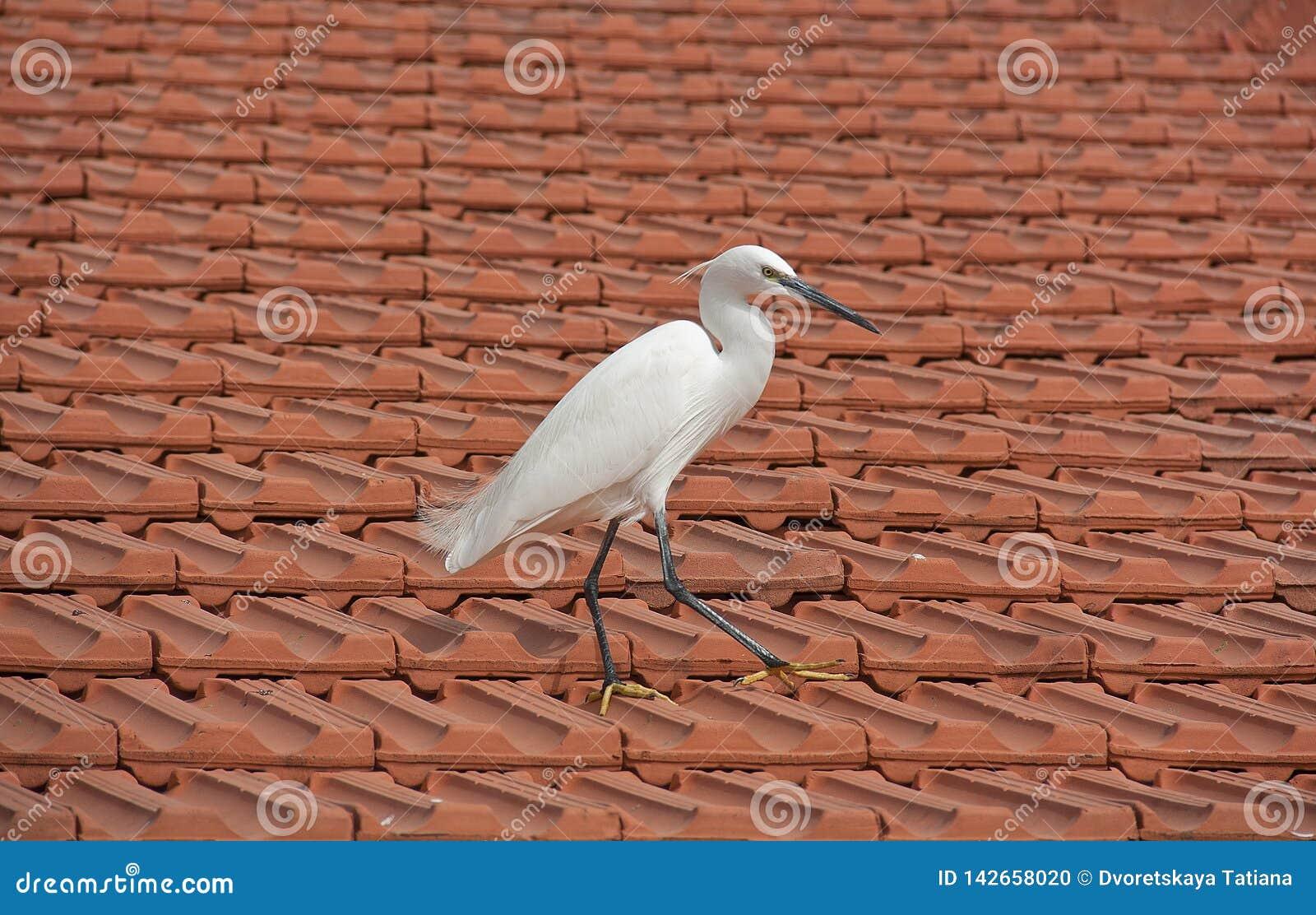 Pasos blancos de la garza en el tejado tejado