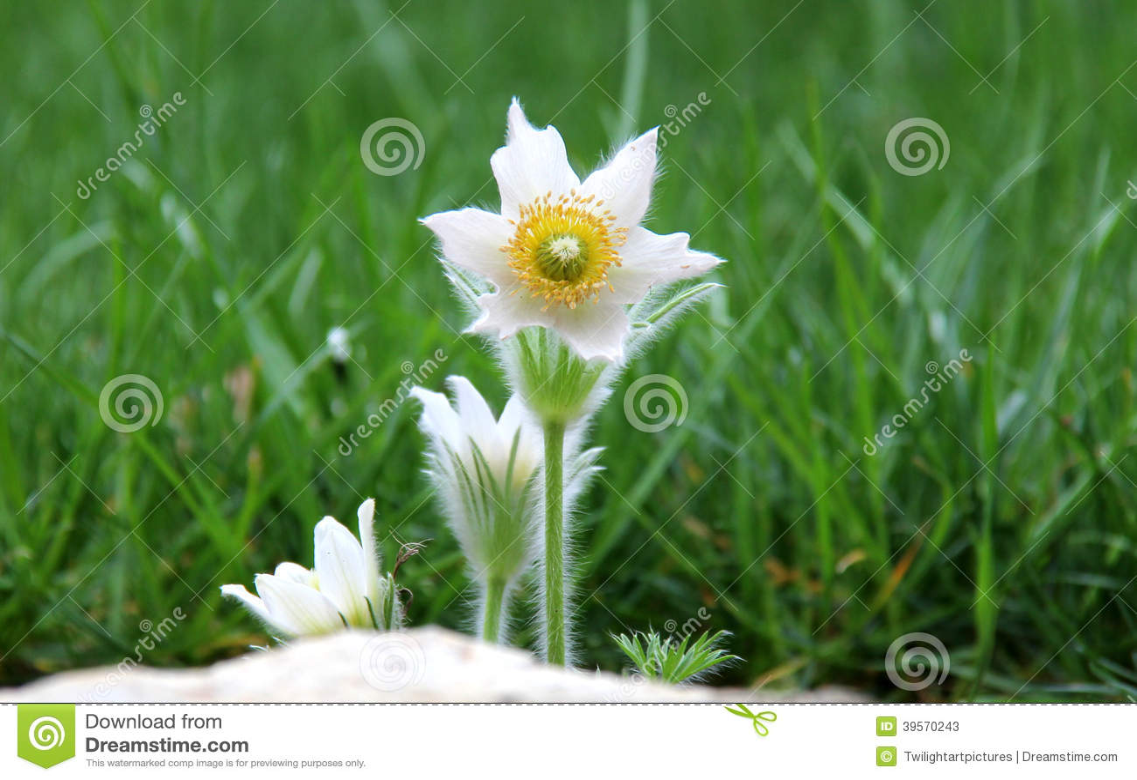 Pasque blommor