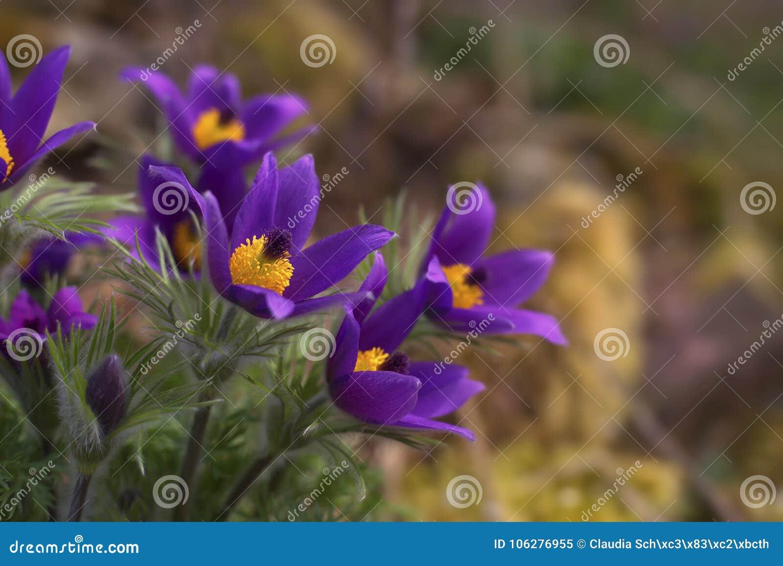Pasque flower bunch Pulsatilla vulgaris