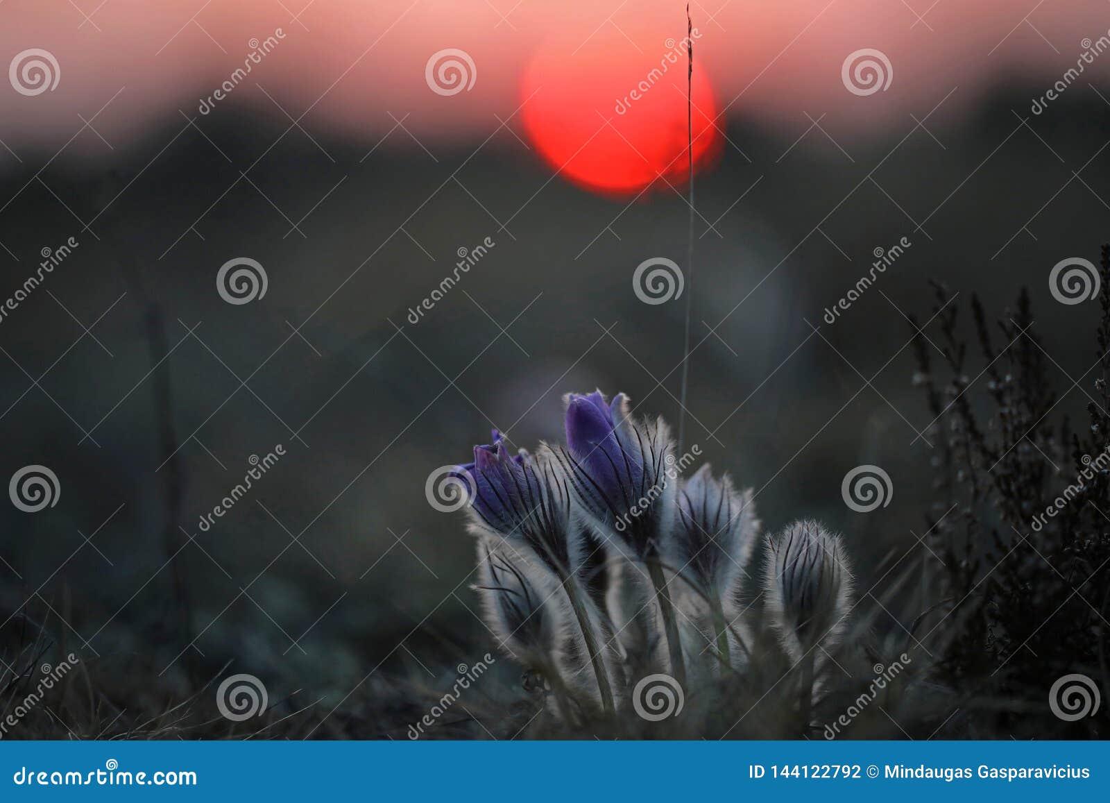 Pasqueflowers posto em perigo raro no por do sol