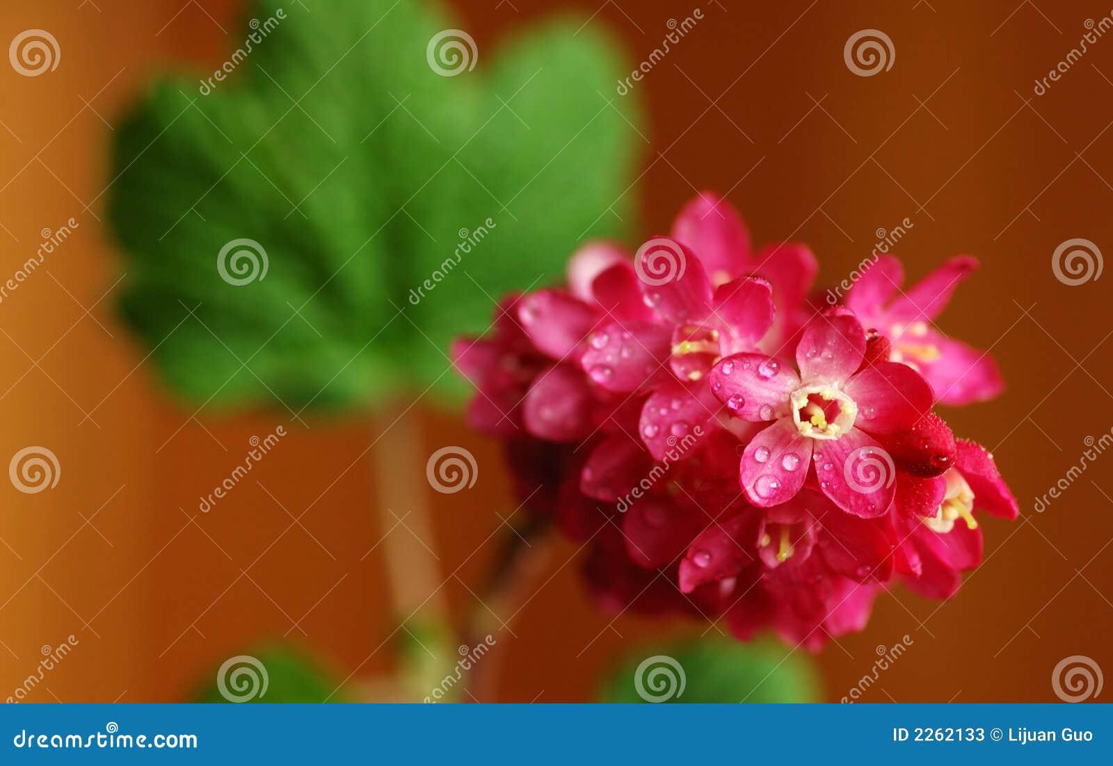 Passa de Corinto de florescência vermelha