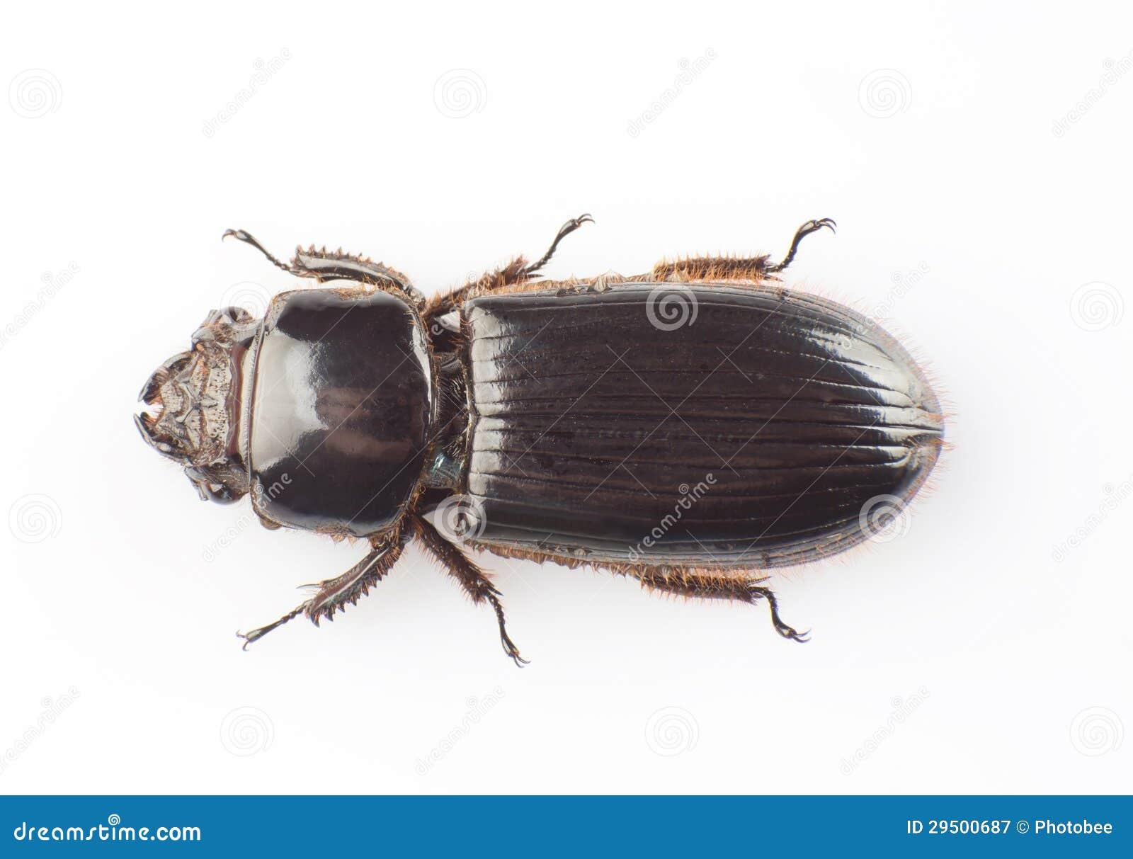 Passalidae