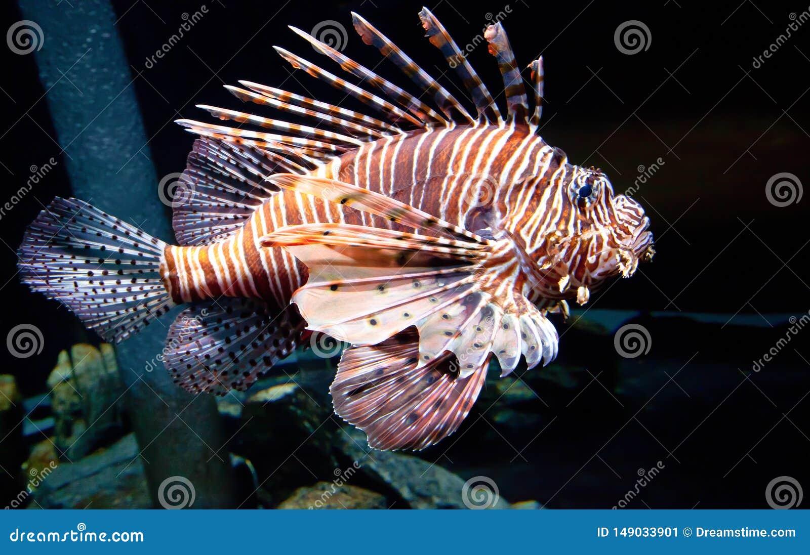 Passando Lion Fish