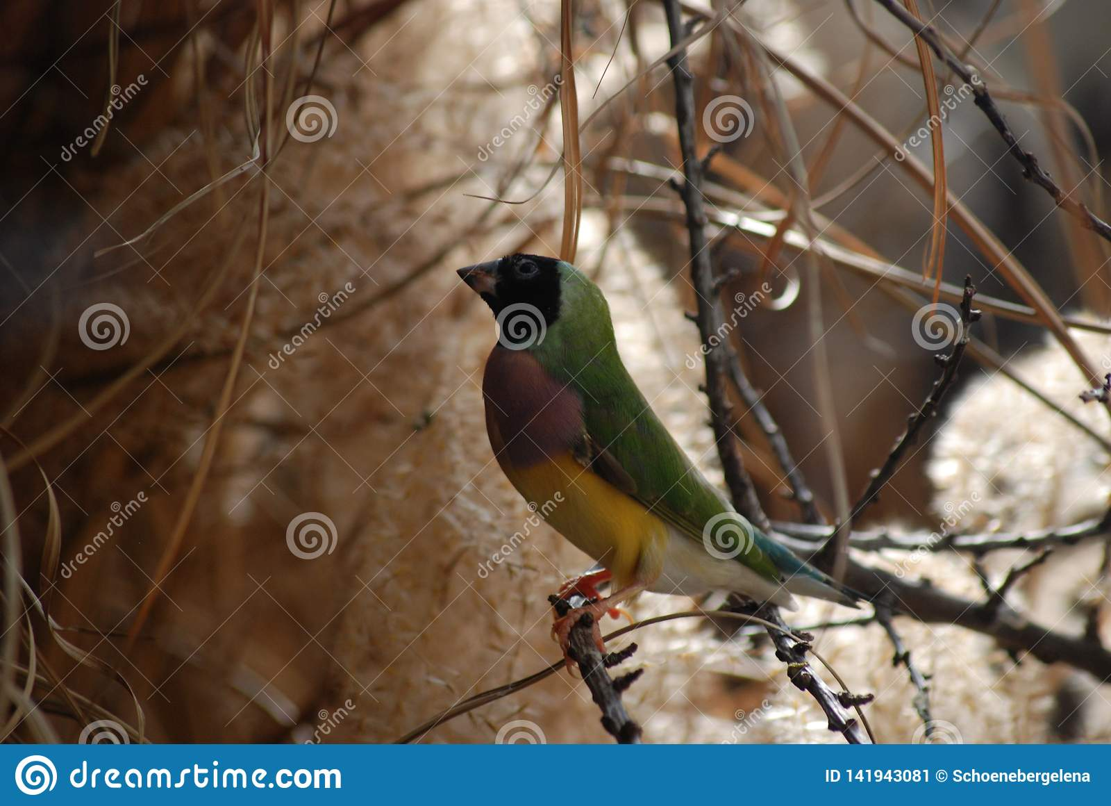 Passarinho fêmea tropical de Gouldian