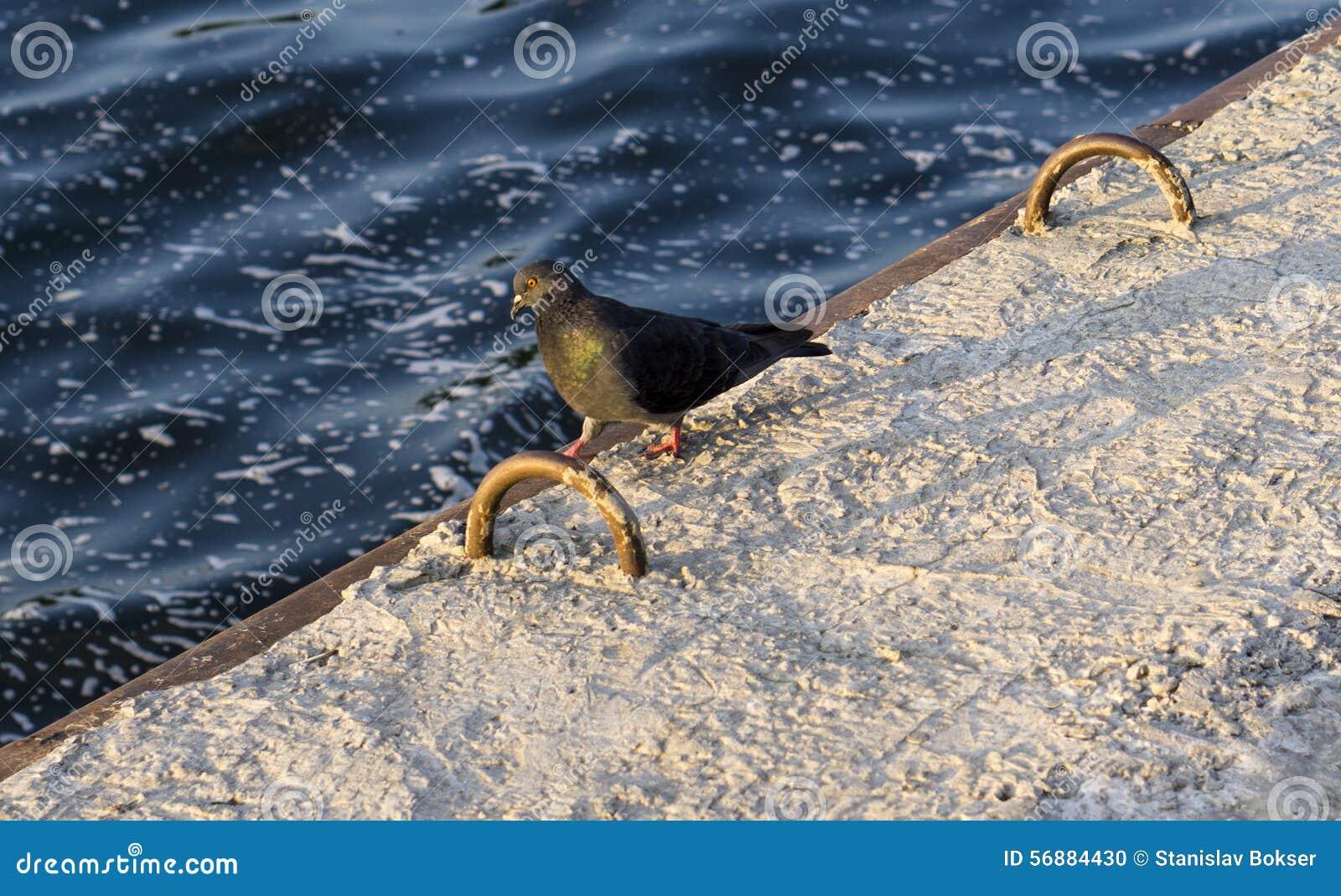 Passeggiate del piccione dell uccello