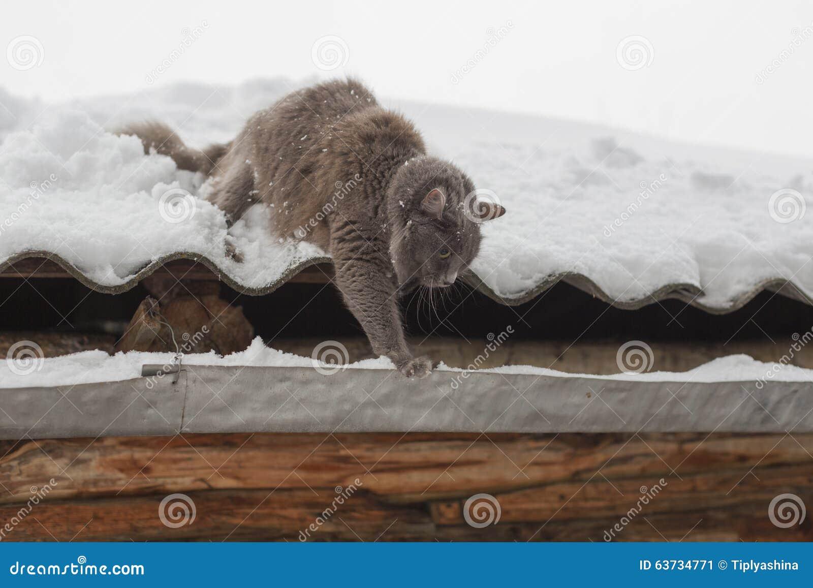 Passeggiate siberiane di inverno del gatto immagine stock for Il gatto inverno