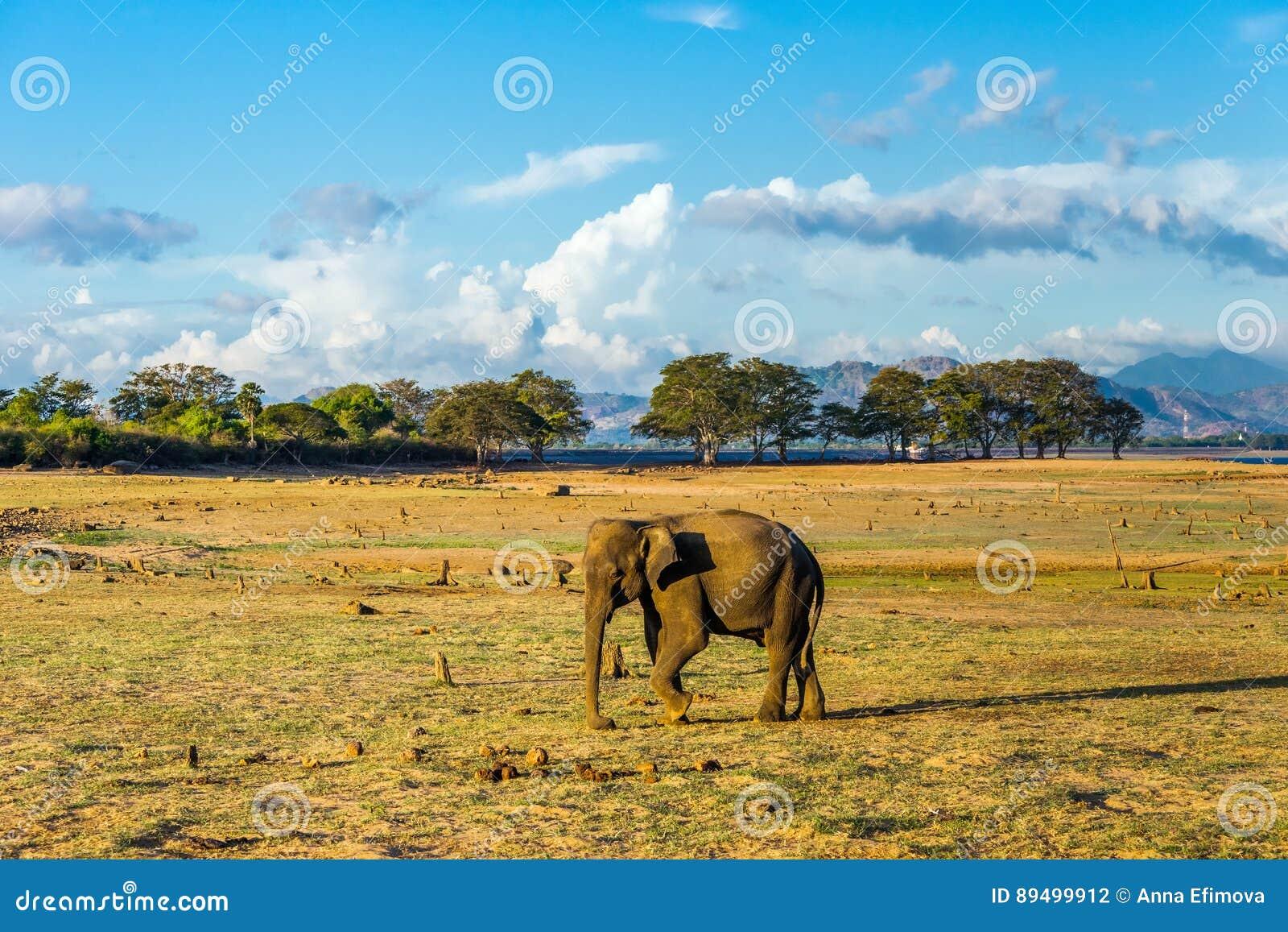 Passeio solitário do elefante asiático