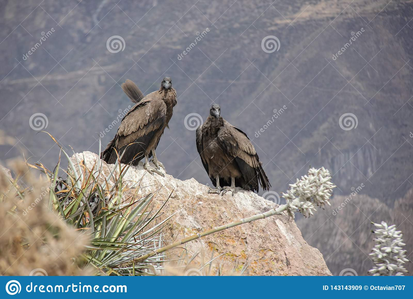 Passen Sie von den Kondoren in Peru/in Colca-Schlucht zusammen