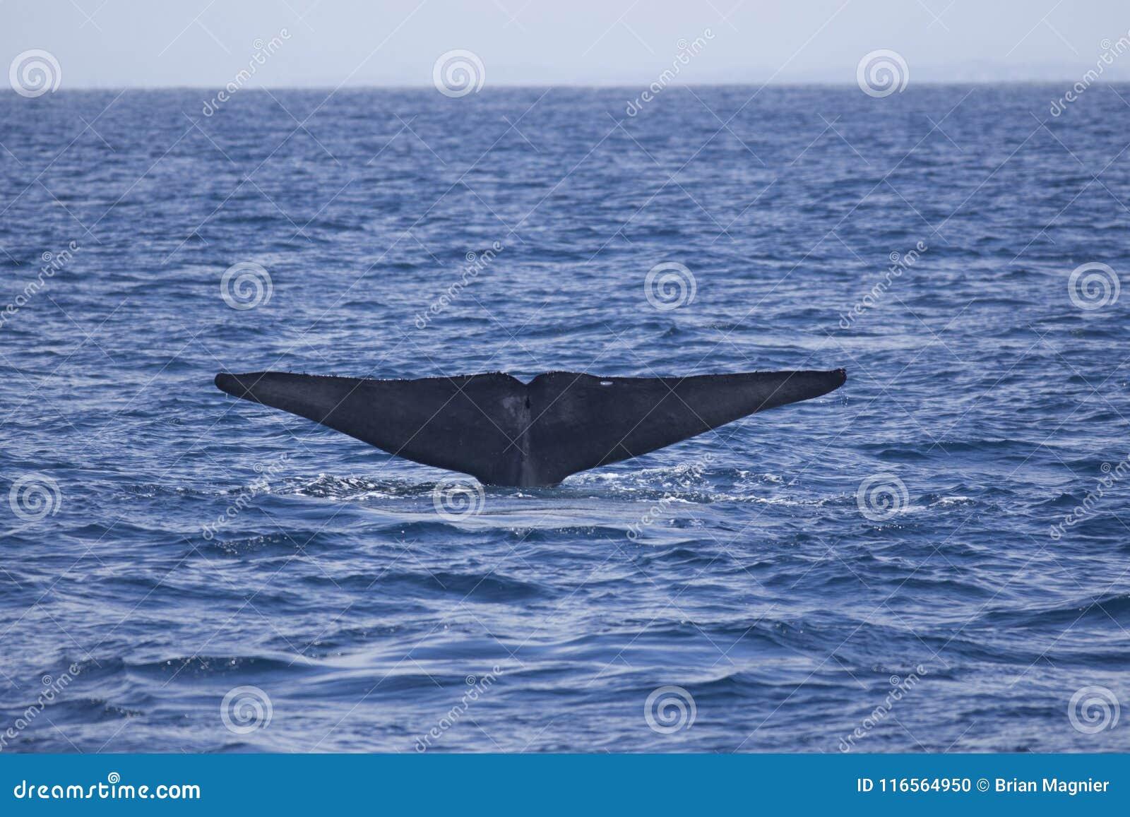 Passere della balena blu fuori da California