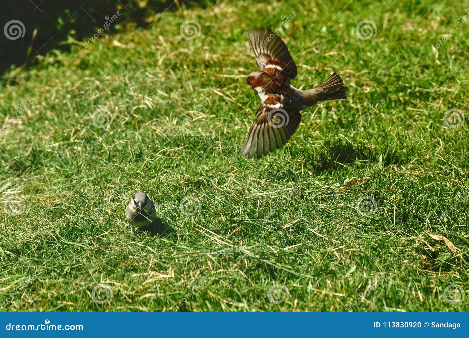 Passero che raccoglie erba per il nido