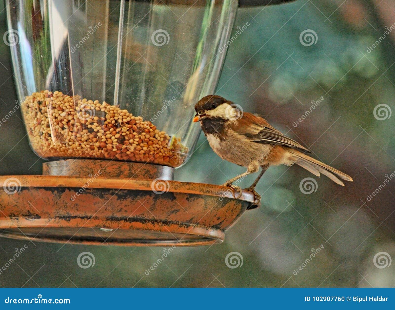 Passero sull alimentatore dell uccello