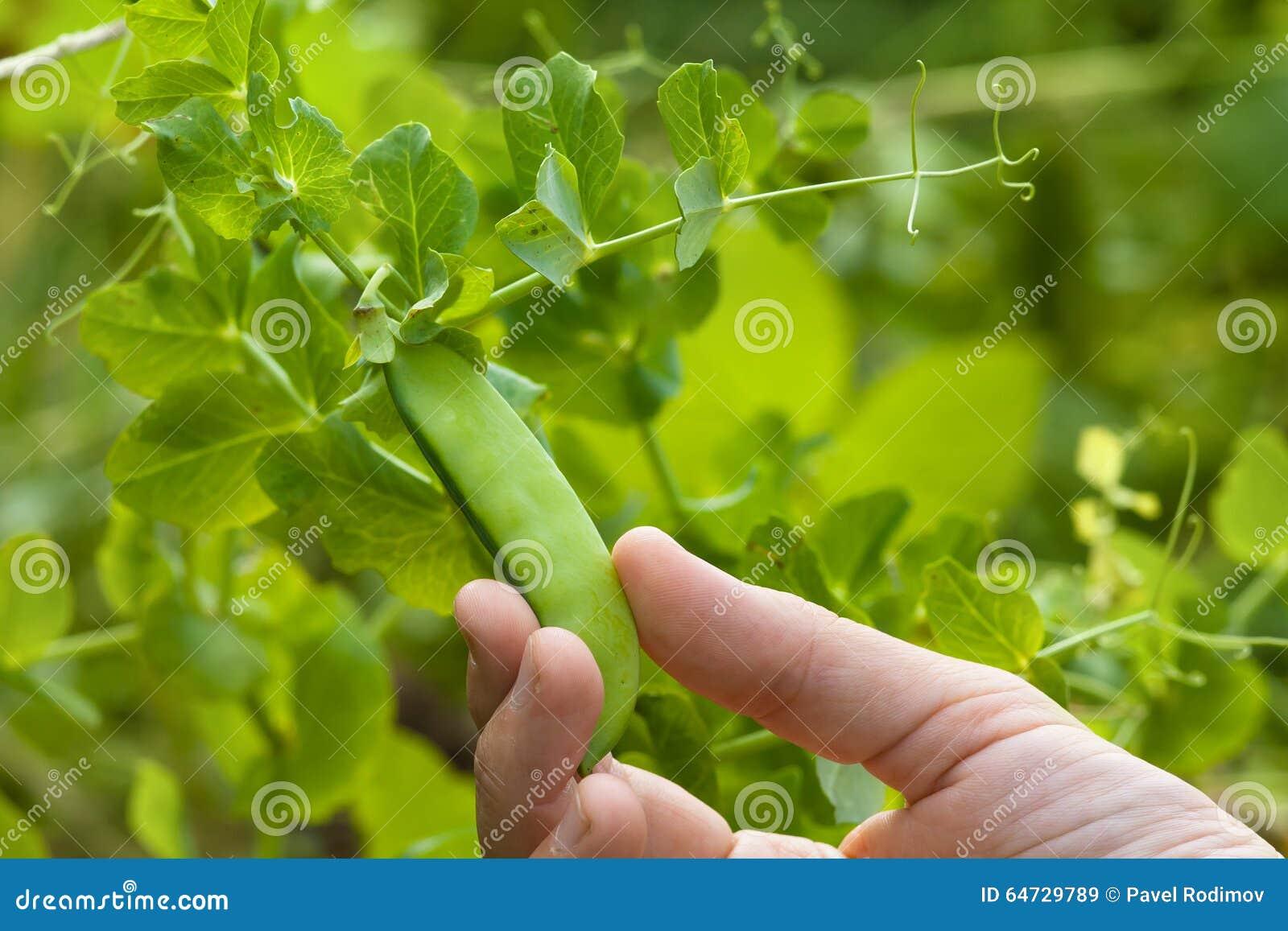 Passi il baccello di raccolto dei piselli nel giardino