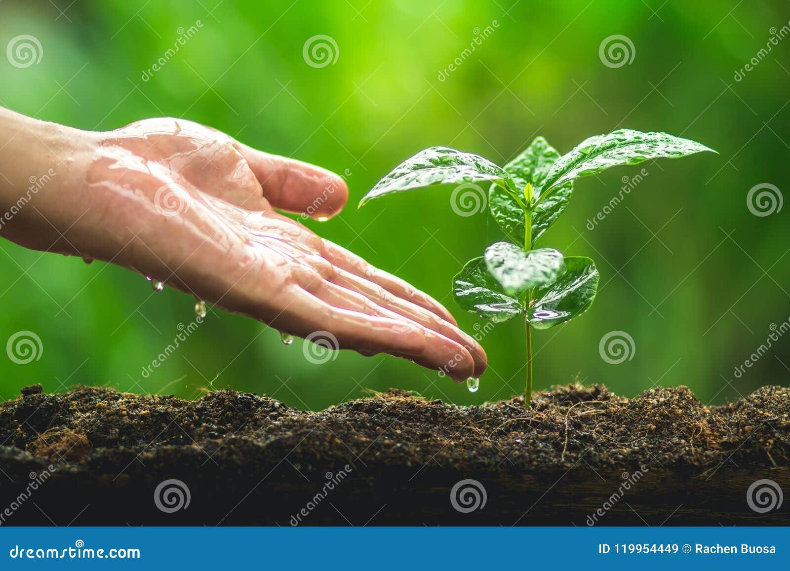 Passi la piantatura della pianta del caffè di cura dell albero nello sfondo naturale