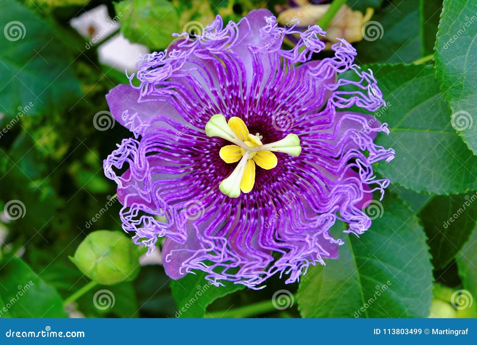 Passiebloem ultraviolette bloei in groene bladeren