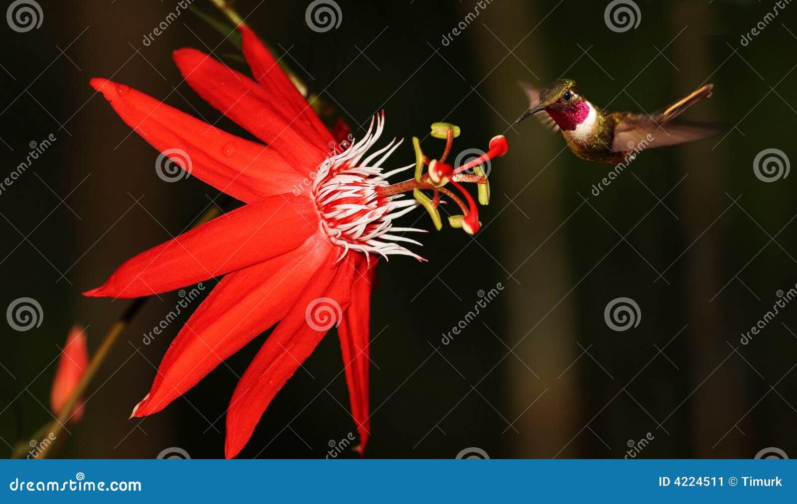 Passiflora coccinea with hummingbird
