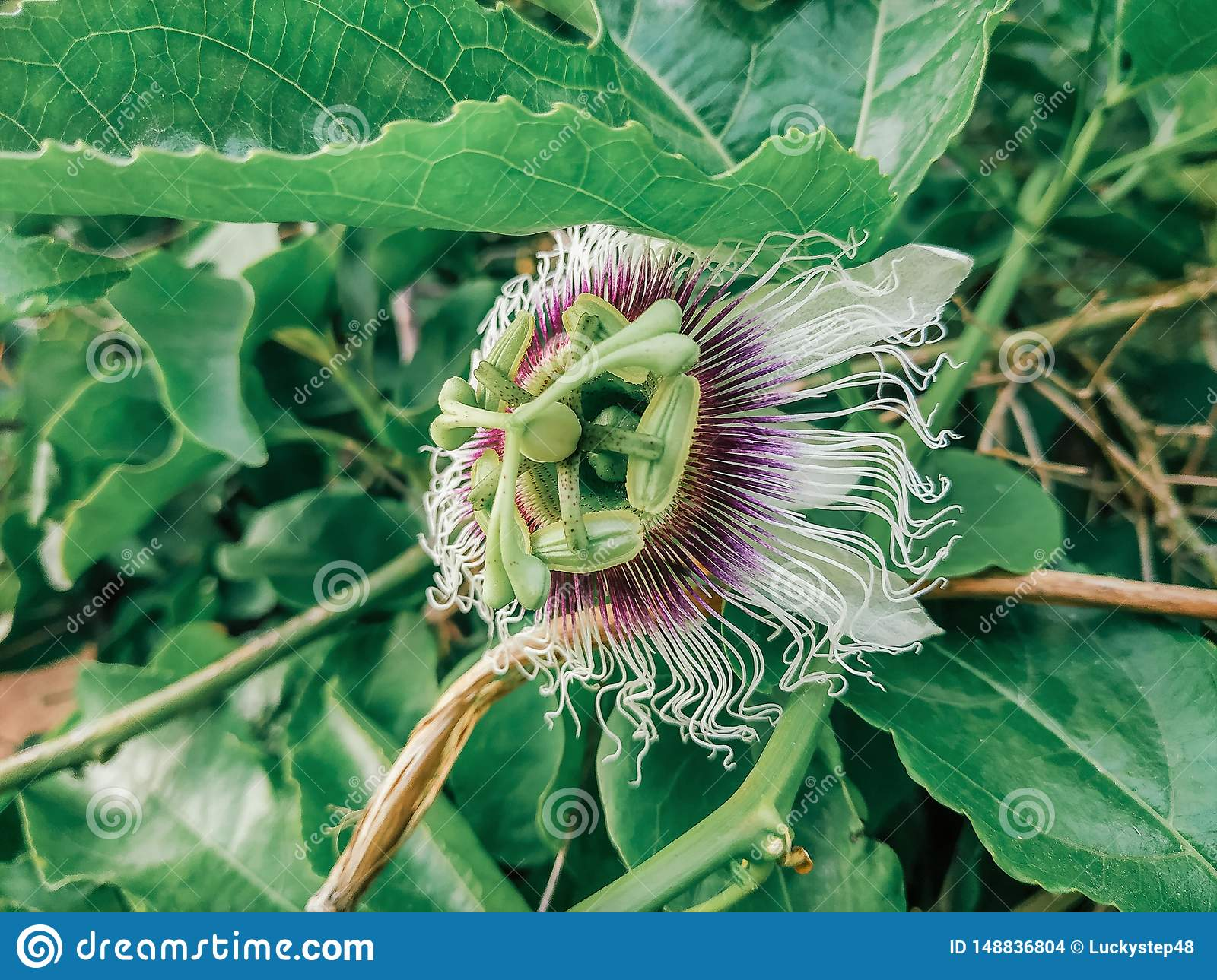 Passiflora edulis blooming purple flower. Vine tropical and subtropical sweet seedy passion fruit. Fresh exotic blossom