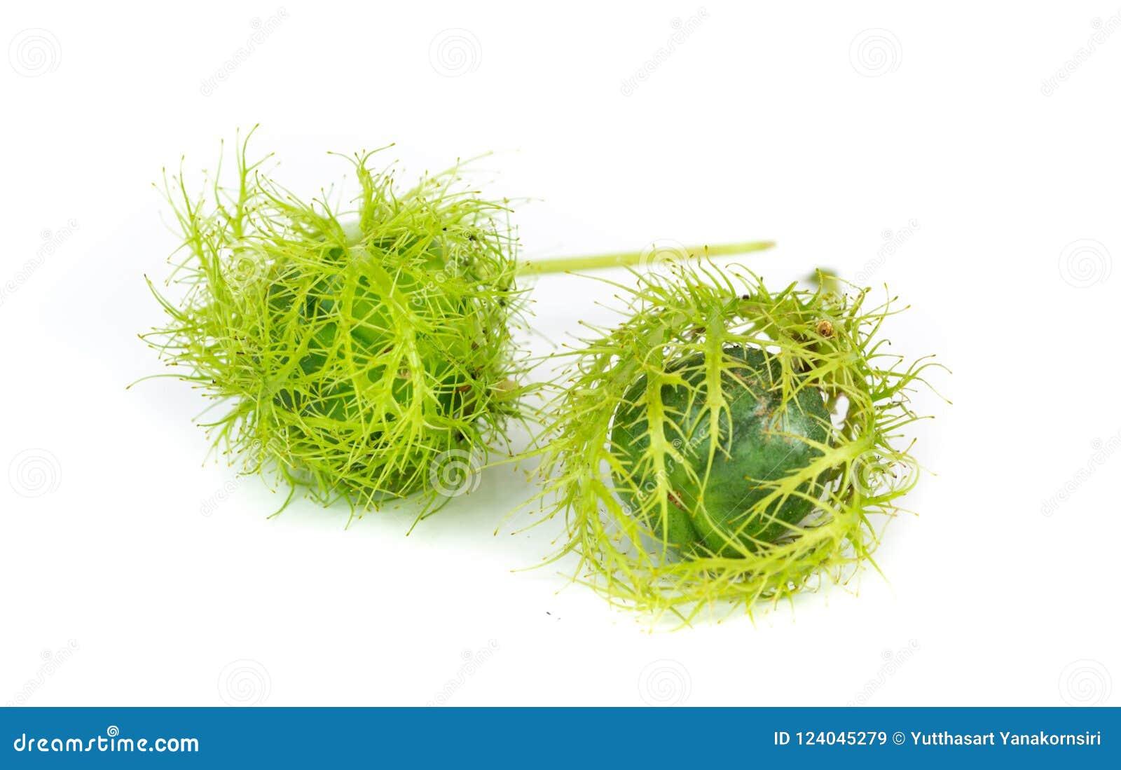 Passiflora foetida lub mgły passionflower na bielu plecy