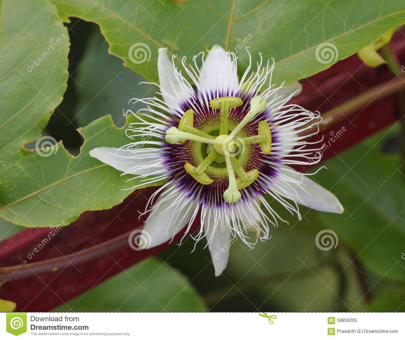 Passiflora passion fruit flower stock photo image 58859205 flower fruit passiflora passion purple white dhlflorist Images