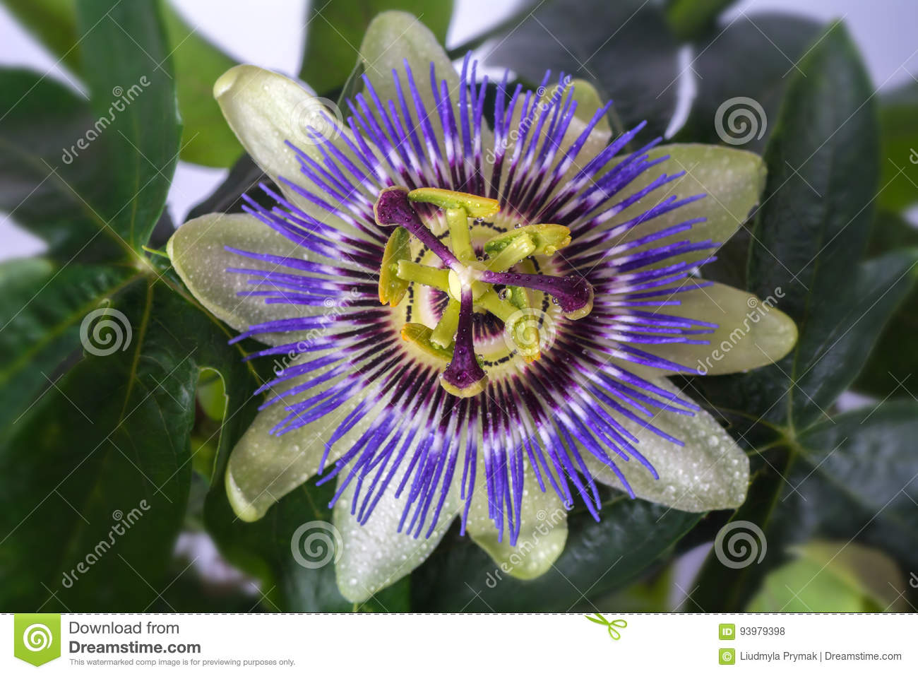 Passiflora passionflower with dew water drops . Big beautiful flower.