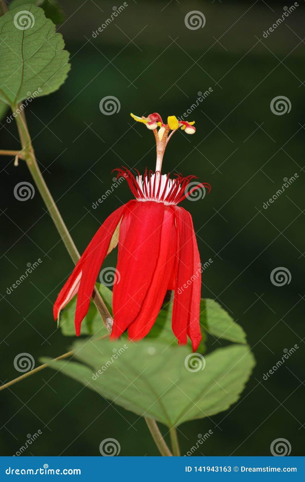 Passiflora Vitifolia - röd passionsblomma