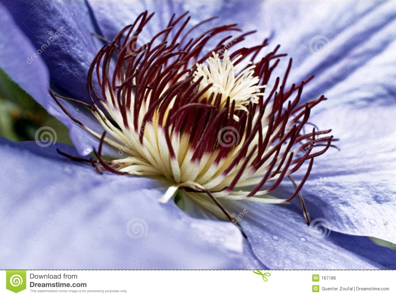 Passion Flower Royalty Free Stock Image Image