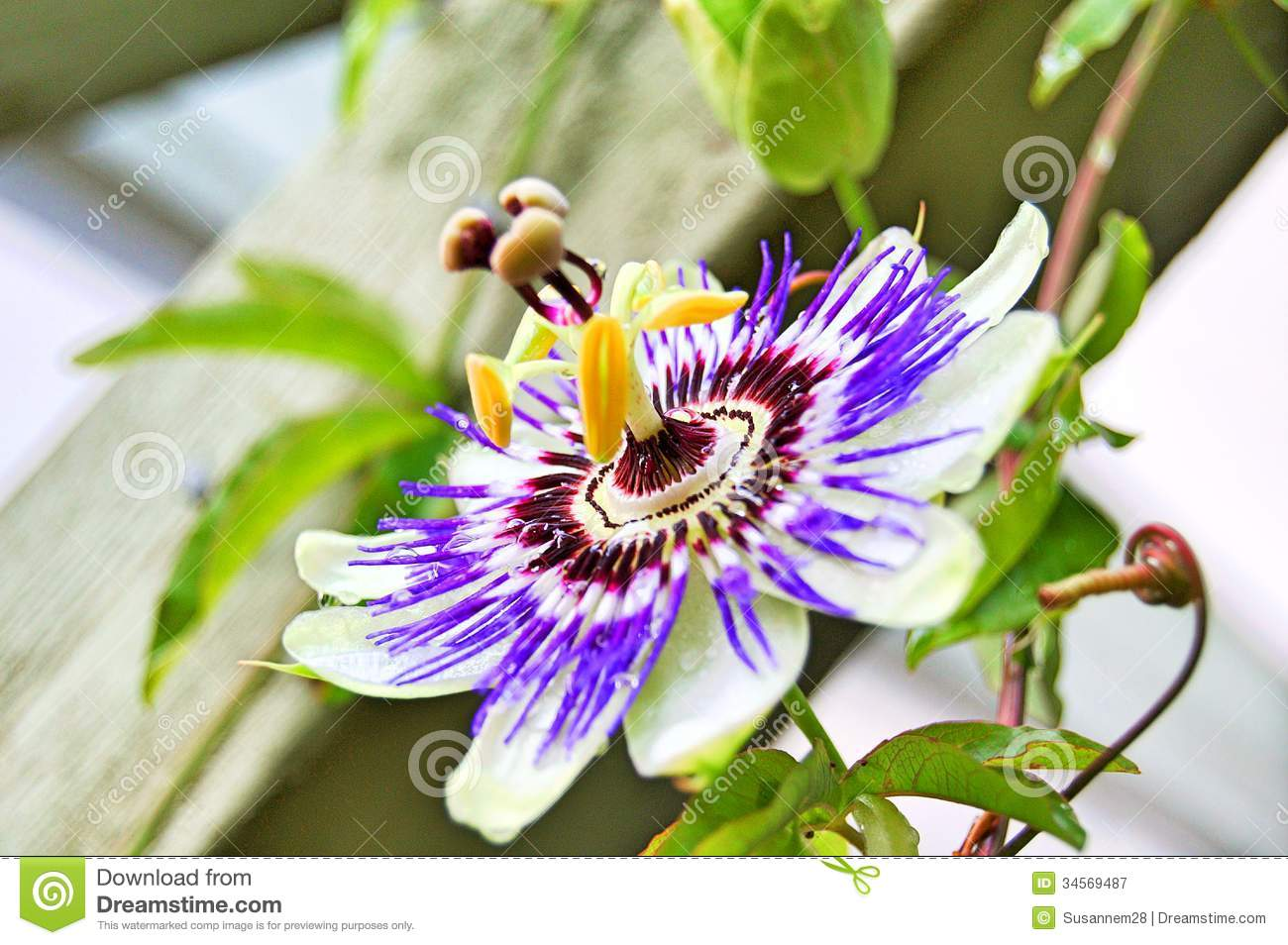 Passion flower stock image image of roskilde denmark for Gardening is my passion
