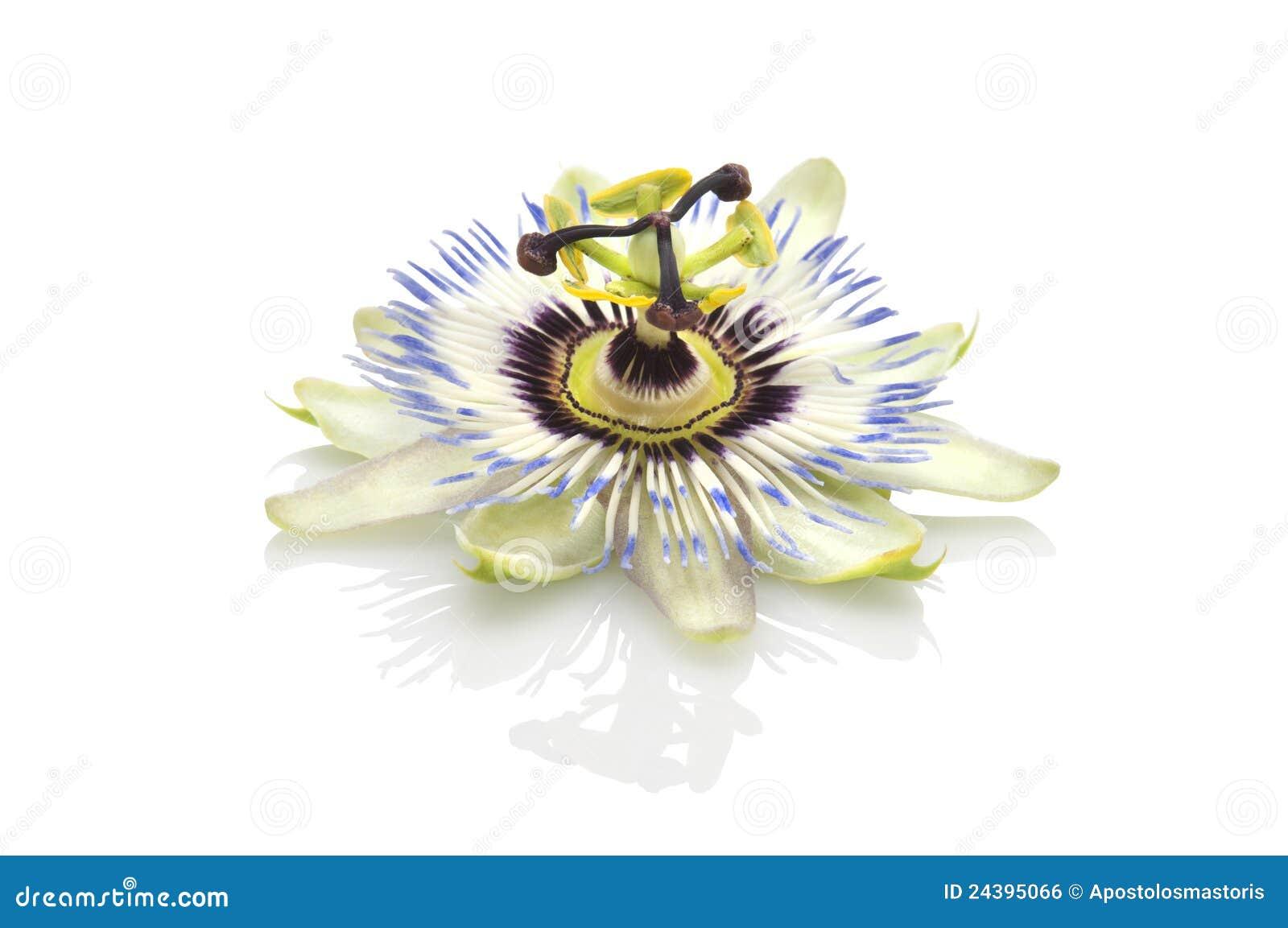 Passion flower(passiflora)