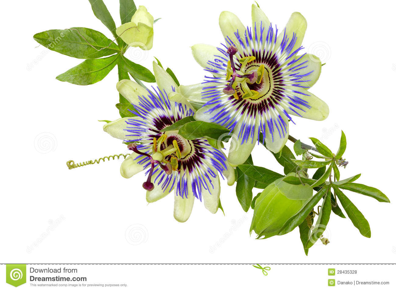 Passion Flower Passiflora Royalty Free Stock s Image