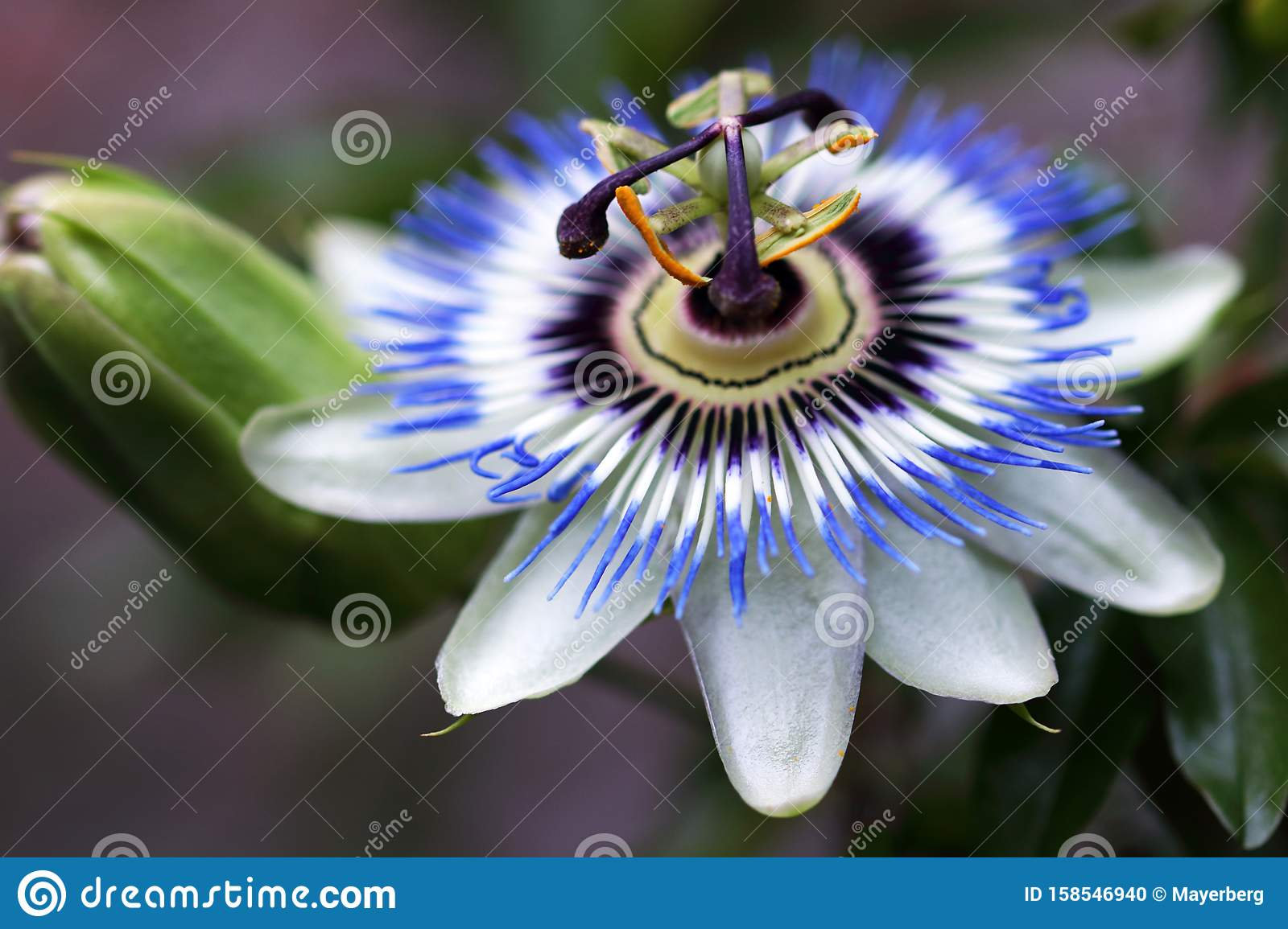Passion Flower Or Passiflora Caerulea Is A Climbing Plant Stock
