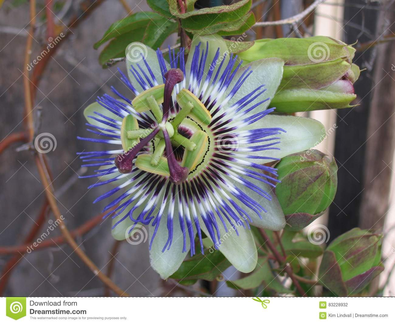 Passion Flower Stock Photo Image Of Religious Passion 83228932