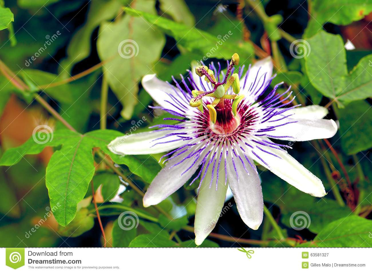 Passion flower white purple stock photo image 63581327 royalty free stock photo download passion flower white dhlflorist Images