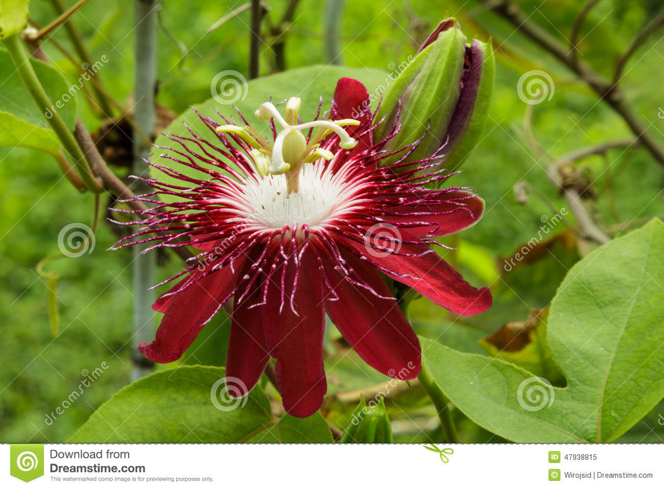 Passion flowers or passion vines