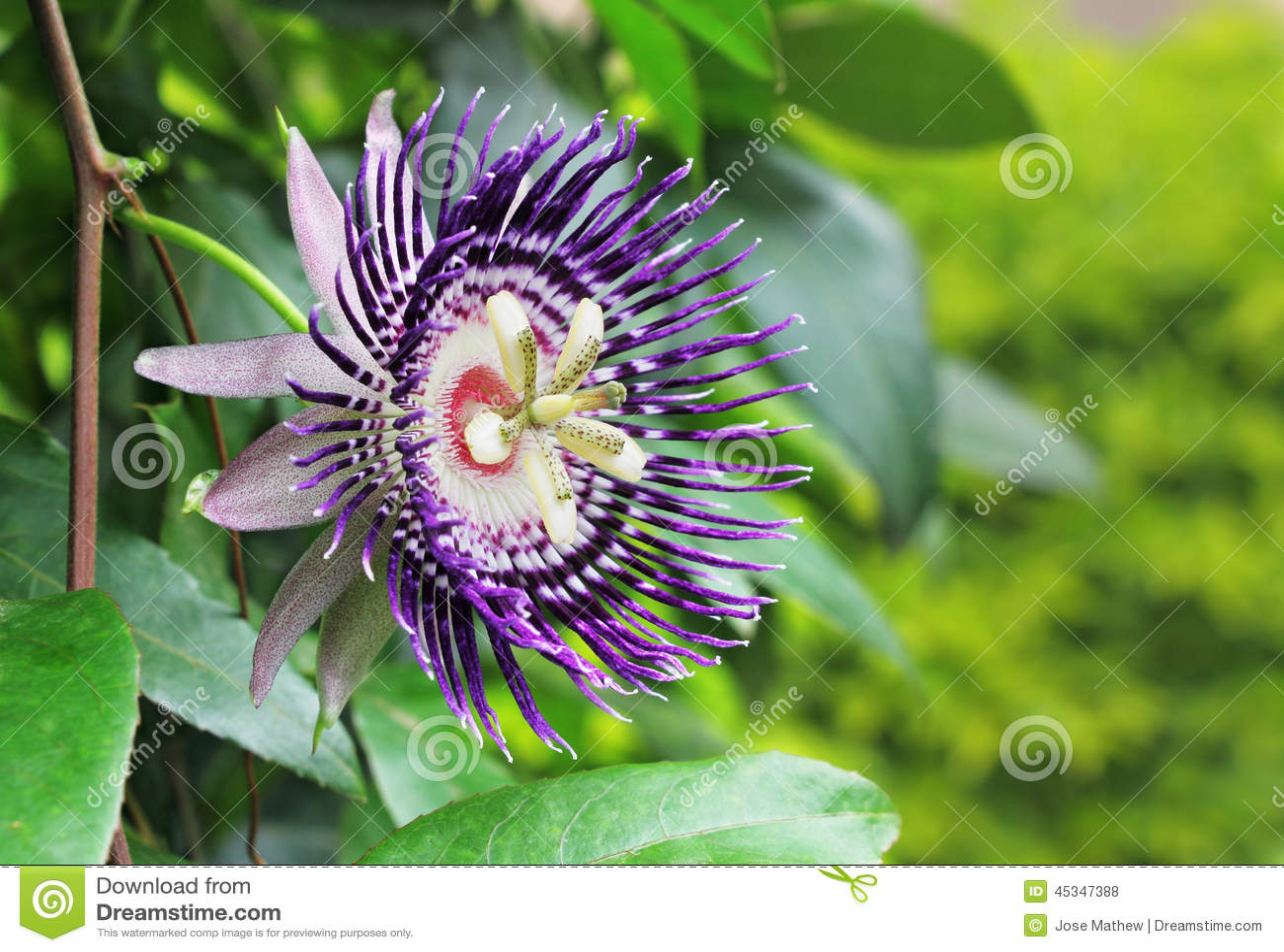 Passion Fruit Flower Stock Image