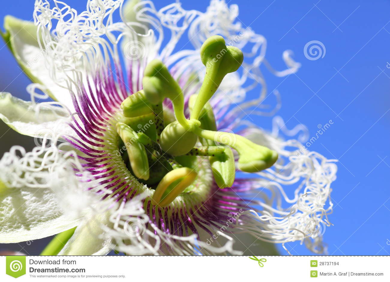 Passion Fruit Flower Macro Stock Image