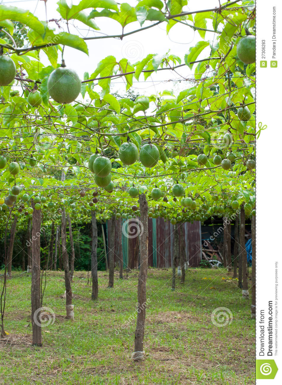 Passion fruit garden stock image image of food green for Gardening is my passion