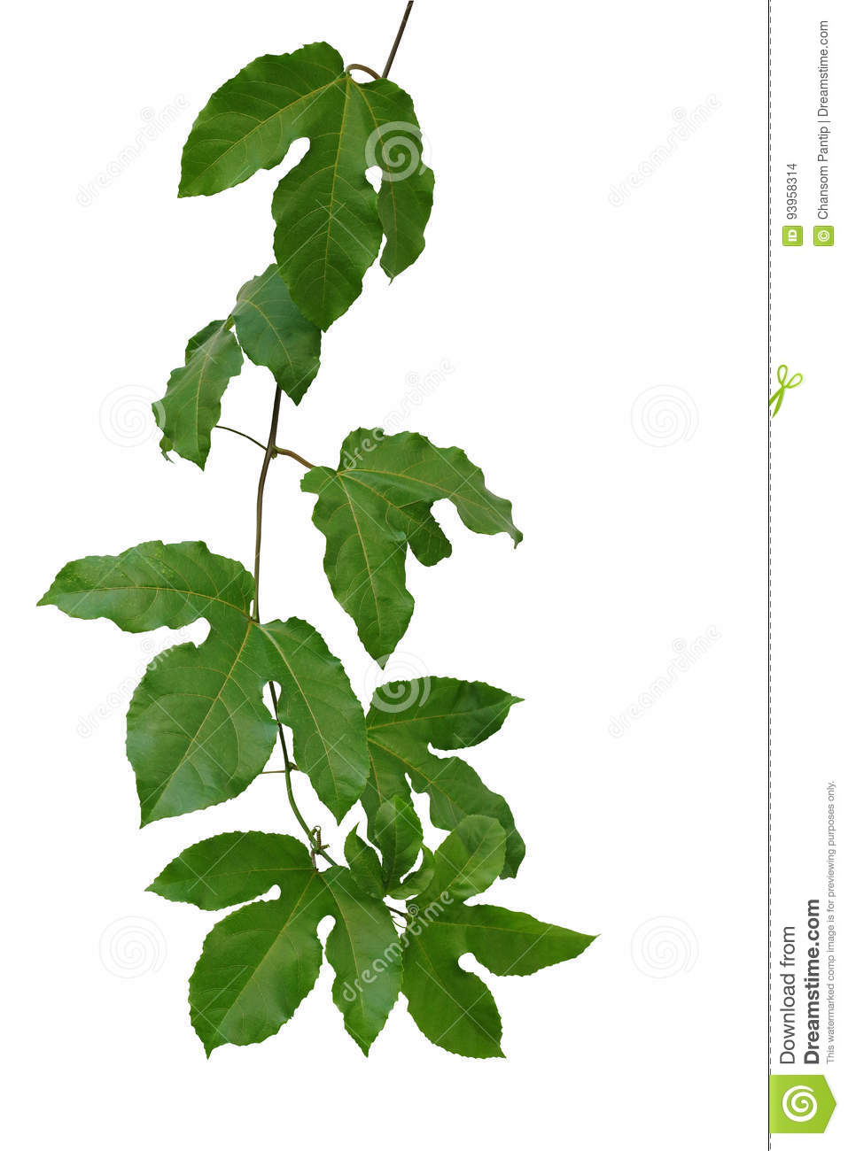 Passion fruit green leaves climbing vine isolated on white background, clipping path included.