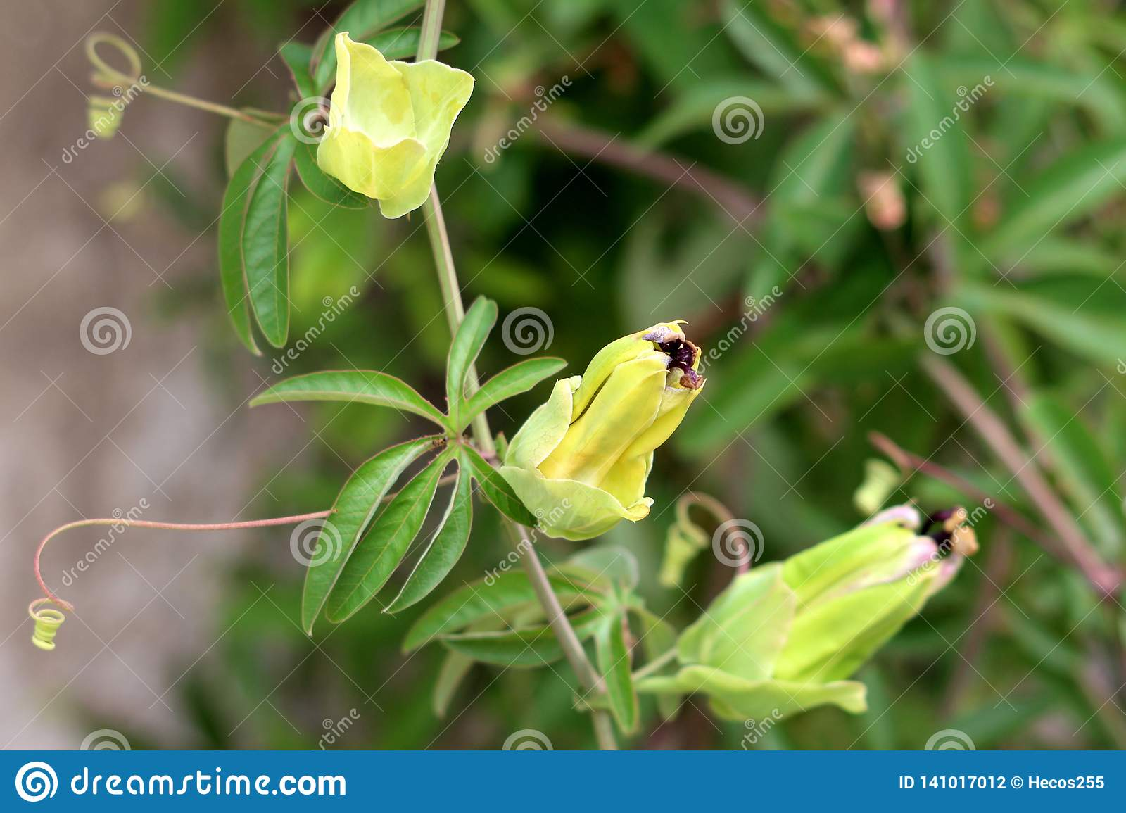 Passion fruit or Passiflora edulis plant with multiple closed flowers waiting to open and bloom surrounded with green leaves in