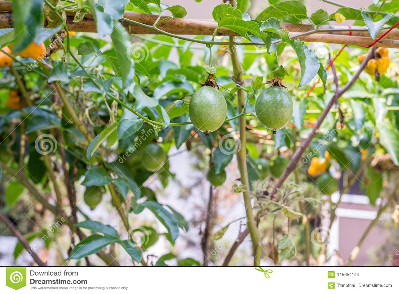 Passion Fruit Tree Garden Stock Photos - Royalty Free Pictures