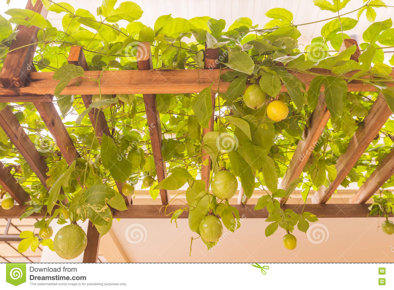 Passion Fruit On Wooden Panel At Home Garden Stock Photo Image Of