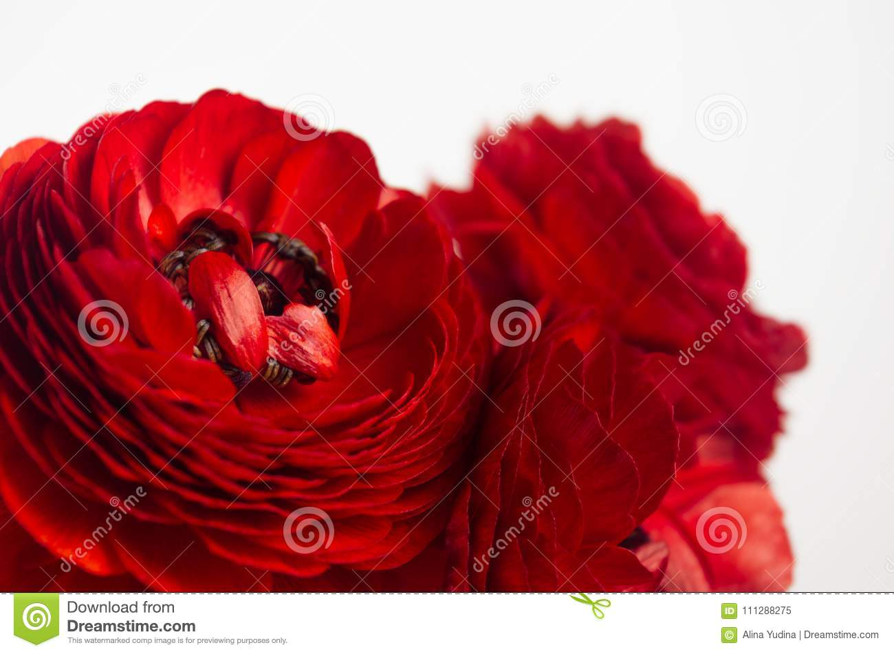 Passionate Red Flowers Macro White Background Spring Floral