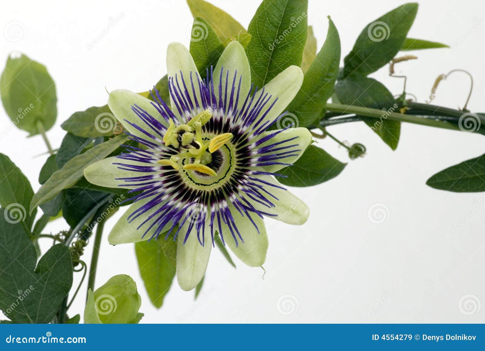 Passionflower purpurowy